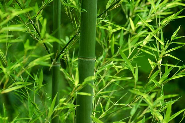 竹の画像 p1_30